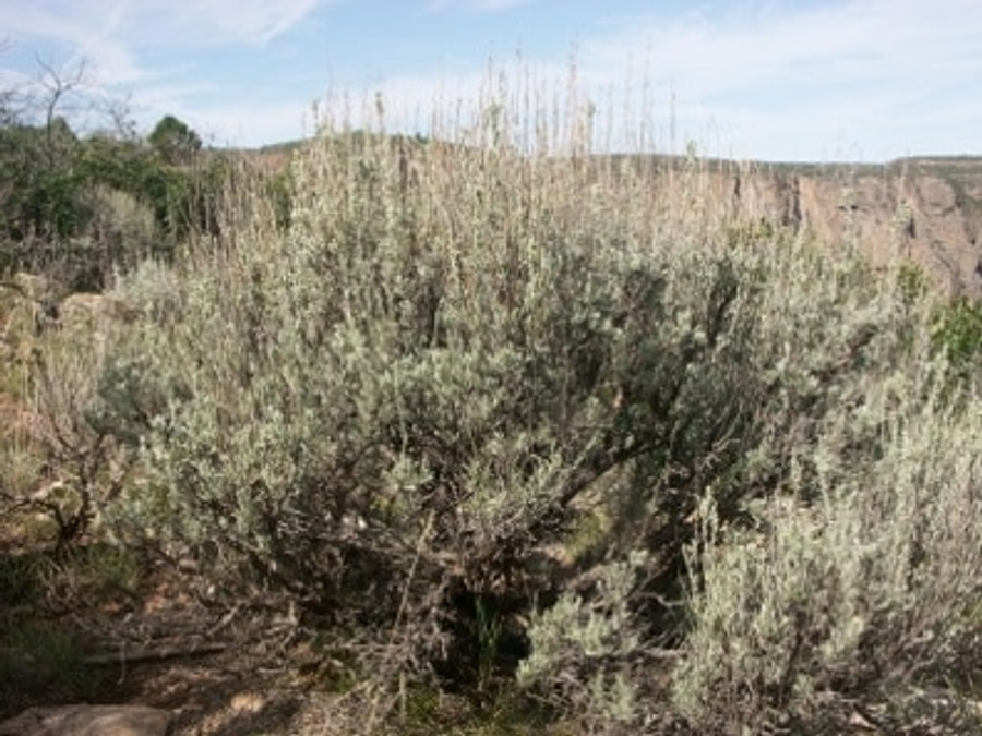 Black Canyon Sage