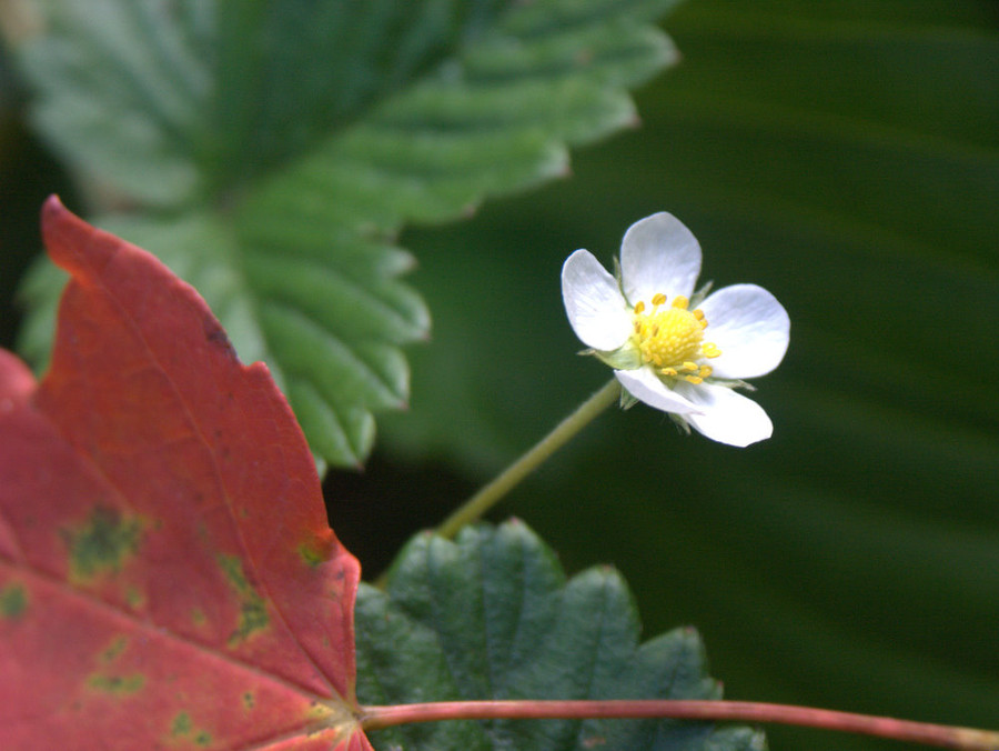 Autumn Alpine Strawberry