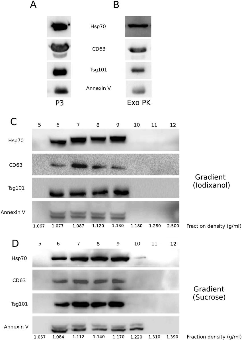 biochemical-characterization-of-exosome-preparations-exosome-preparations-were-obtained.png