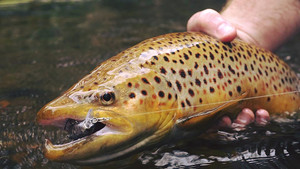 Trout  & Cod season closure dates 2019