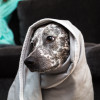 EMF protection blanket for dog - wrapped as hoodie