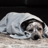 SYB EMF protection blanket  - just love this dog - how can he look so bored