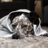 SYB EMF protection blanket - is this dog bored, or just unhappy?