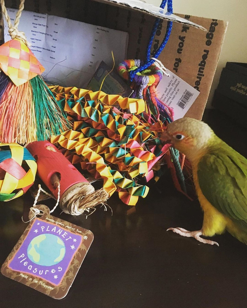 Kai the conure and his Planet Pleasures Bird Toy