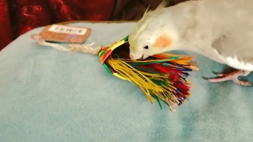 "Emery the cockatiel and her Planet Pleasures ""Bird Brush Mini"" Parrot Toy"