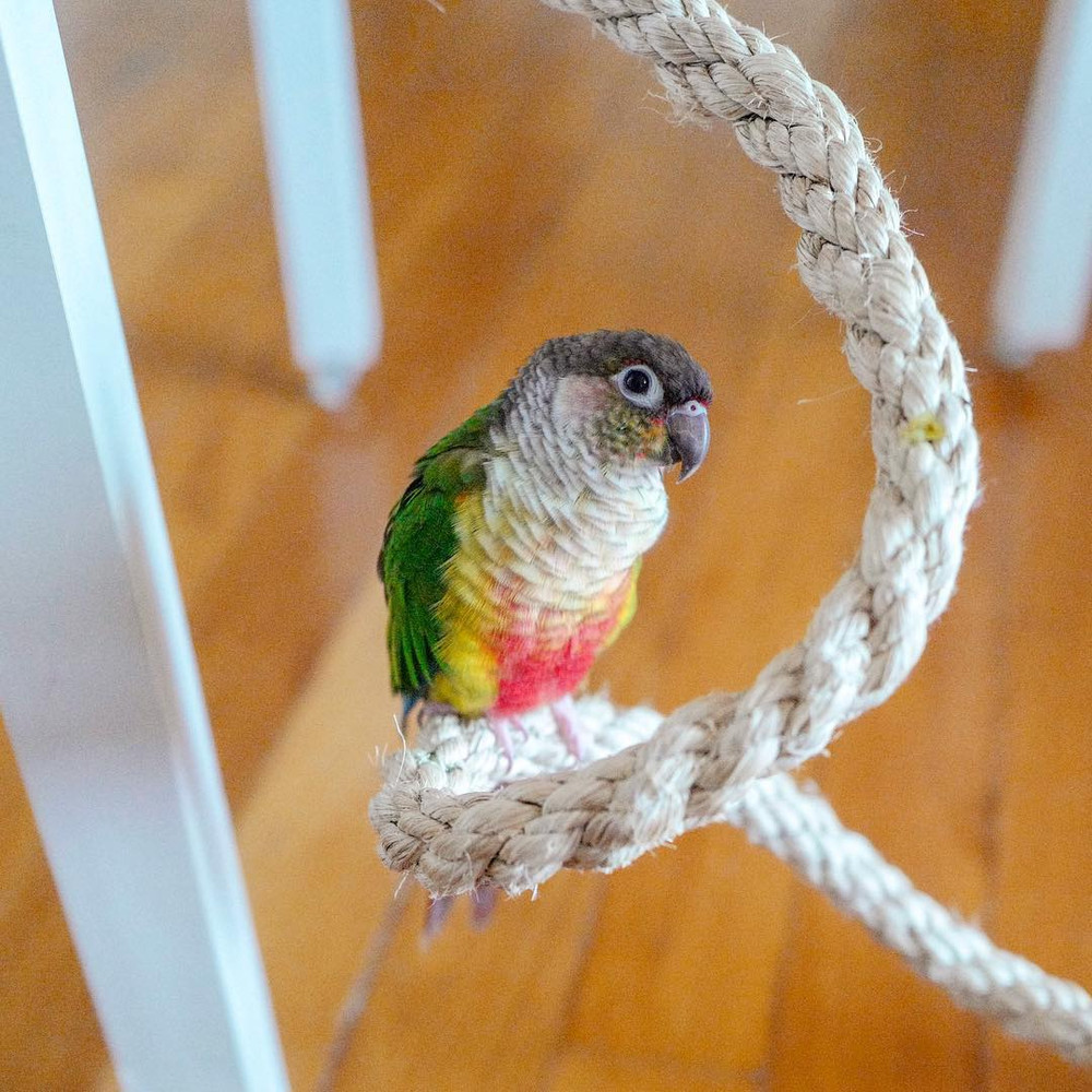 "Kaya the conure chilling on her Planet Pleasures ""Boing"" Bird Perch"