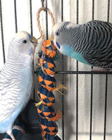 2 Budgies playing with their Caterpillar Bird Toy. How cute are they!?