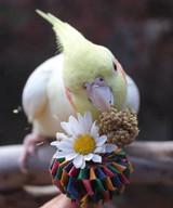 Cockatiel enjoying millet next to their Planet Pleasures natural shreddable bird toy.