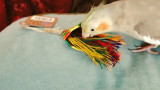 """Emery the cockatiel and her Planet Pleasures """"Bird Brush Mini"""" Parrot Toy"""