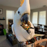 Doobie the Cockatoo Playing with his Natural Tire Foot Toy.