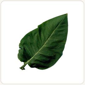 Bafra tobacco leaf
