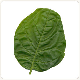 Basma tobacco