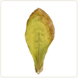 Izmir tobacco leaf