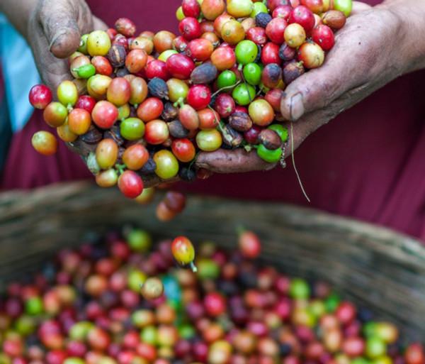 Introducing El Salvador Las Urracas Natural LTD