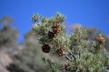 Nevada Pinion Pine #301