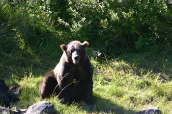 Alaska Brown Bear - #124
