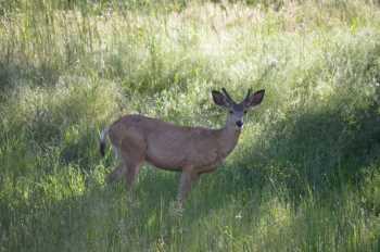 Deer in Meadow - #88