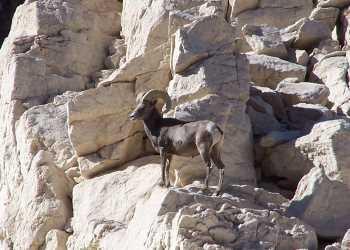 Desert Bighorn Sheep - #4