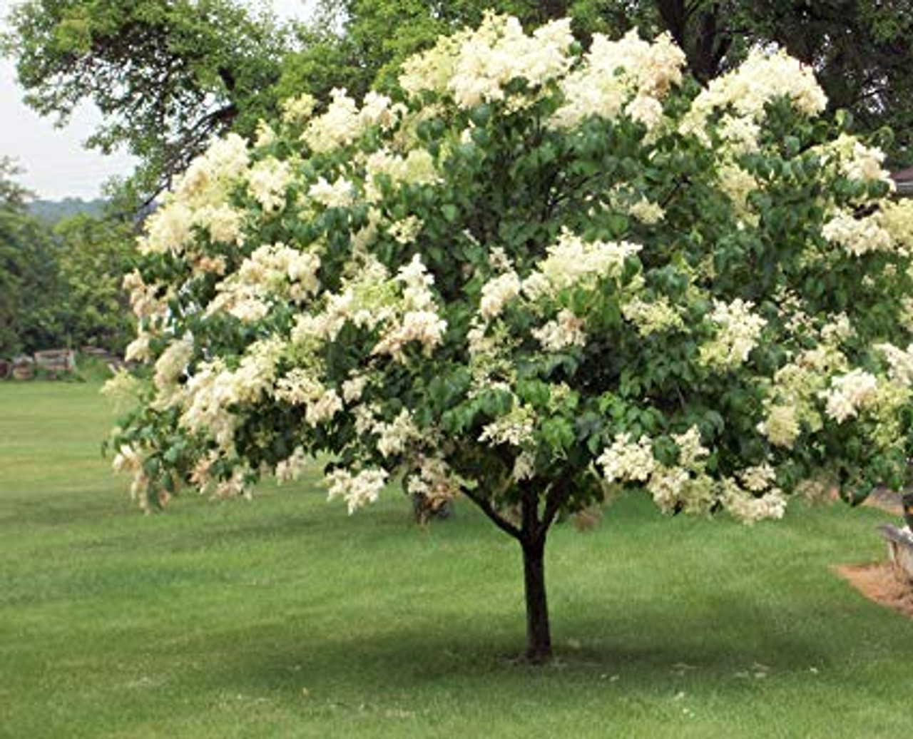 Buy Syringa Reticulata Japanese Tree Lilac Seeds Online In Usa