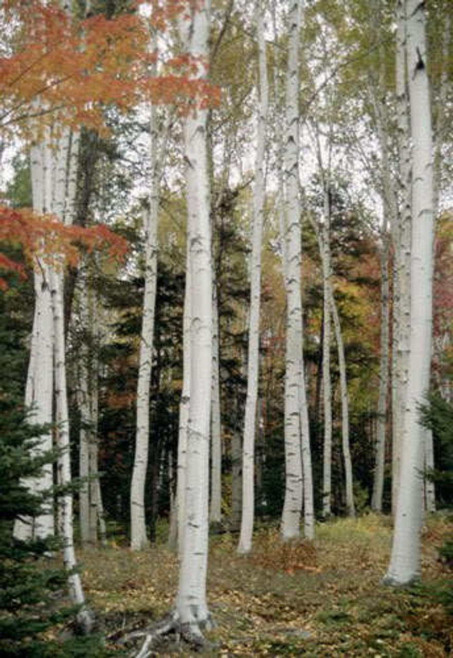 RARE JAPANESE WHITE BIRCH TREE Betula Platyphylla Japonica  5 seeds  UK SELL