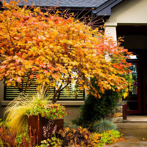 Acer japonicum: Full Moon Japanese Maple