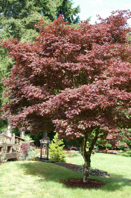Acer palmatum 'Atropurpureum': Red Japanese Maple