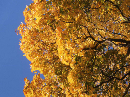 Acer platanoides: Norway Maple Seeds
