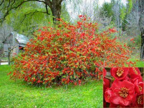 Chaenomeles japonica: Dwarf Flowering Quince Seeds