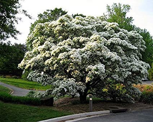 Chionanthus retusa: Chinese Fringe Tree Seeds