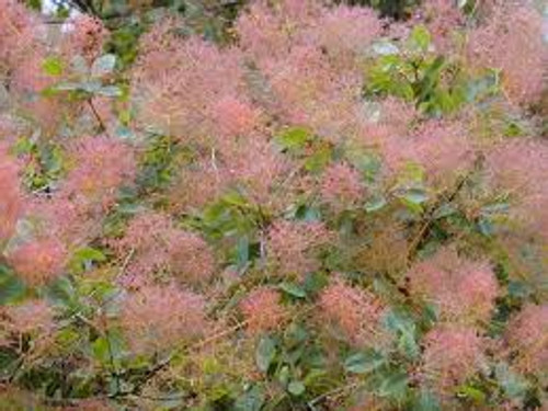 Cotinus coggygria: Smoke Tree Seeds