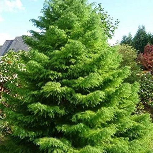 Cryptomeria japonica: Japanese Red Cedar Seeds