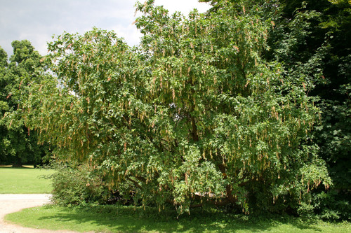 Laburnum alpinum: Alpine Goldenchain Tree Seeds