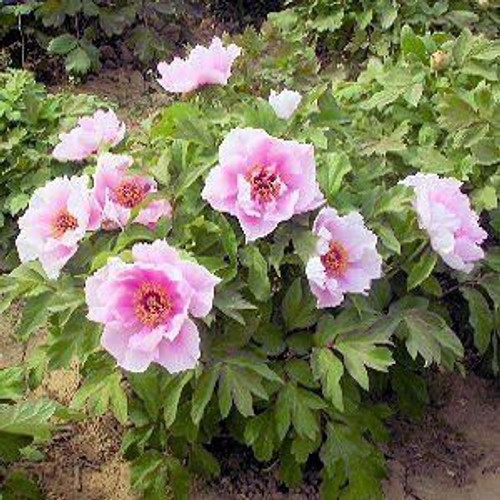 Paeonia suffruticosa: Moutan Tree Peony Seeds