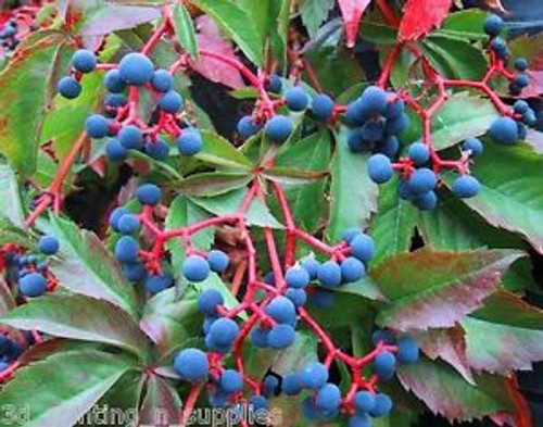 Parthenocissus quinquefolia: Virginia Creeper Seeds