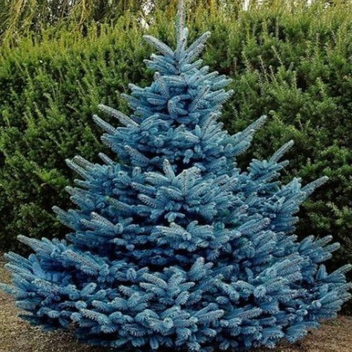 Picea pungens 'Glauca': Colorado Blue Spruce Seeds