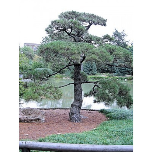 Pinus thunbergiana: Japanese Black Pine Seeds