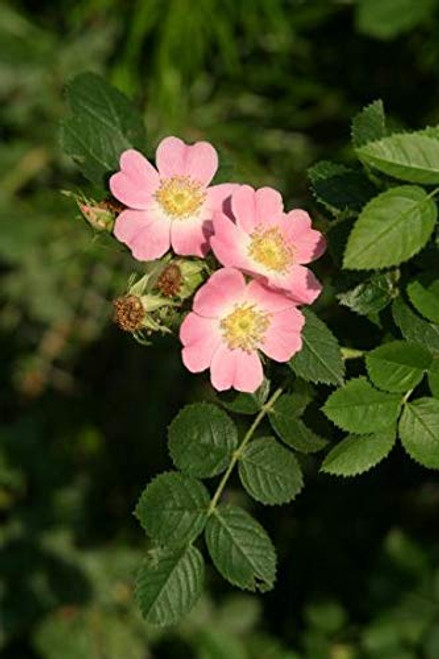 Rosa eglanteria: Sweet Briar Rose Seeds