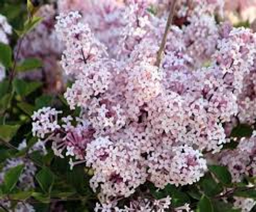 Syringa oblata: Early Lilac Seeds