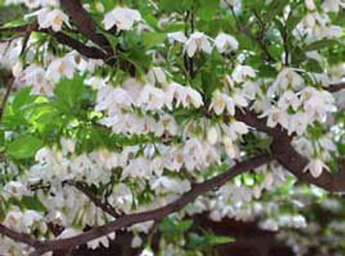 Styrax Japonica: Japanese Snowbell Seeds