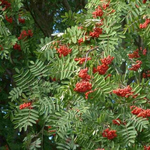 Sorbus aucuparia: European Mountain Ash Seeds