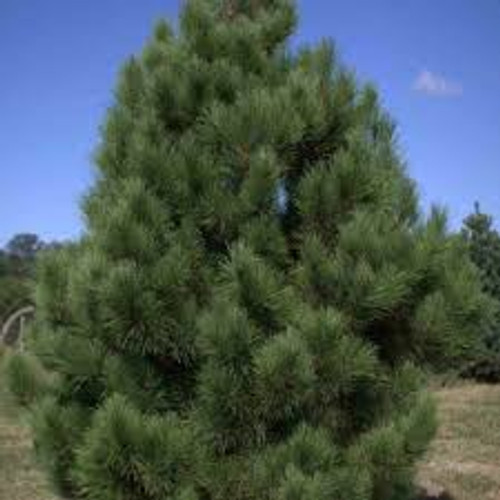 Pinus resinosa: Red Pine Seeds