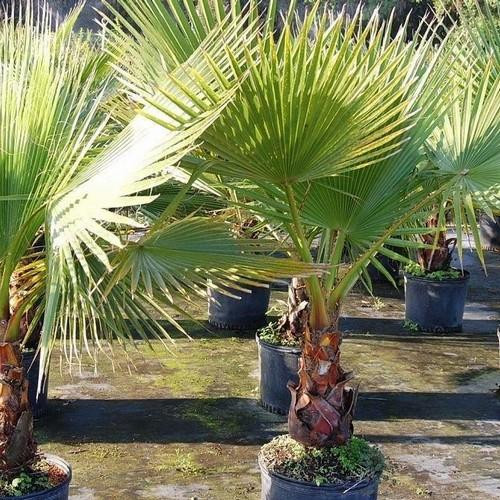 Washingtonia robusta - Mexican Fan Palm Seeds