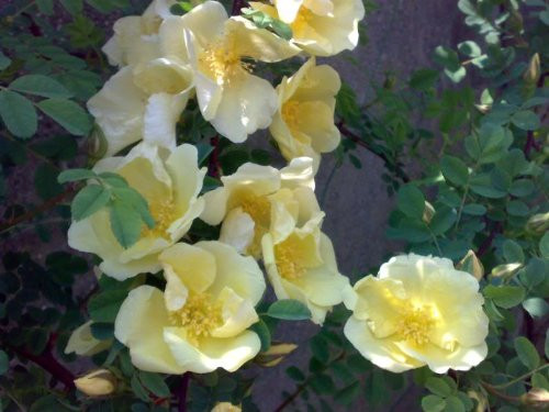 Rosa hugonis: Father Hugo's Rose Seeds