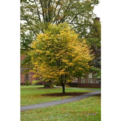 Cladrastis lutea: American Yellowwood Tree Seeds