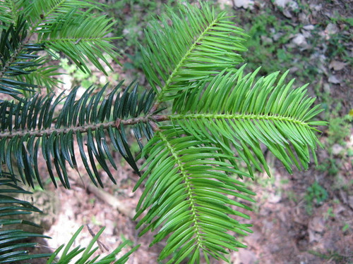 Abies homolepis: Nikko Fir Seeds