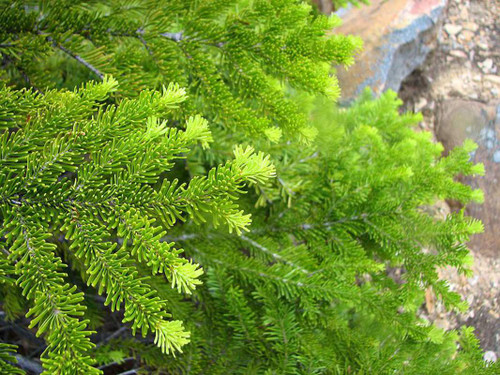 Abies lasiocarpa: Alpine Fir Seeds