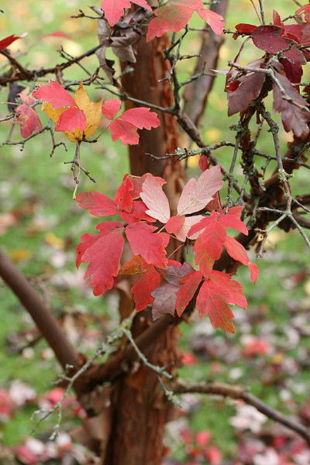 Acer griseum: Paperbark Maple Seeds