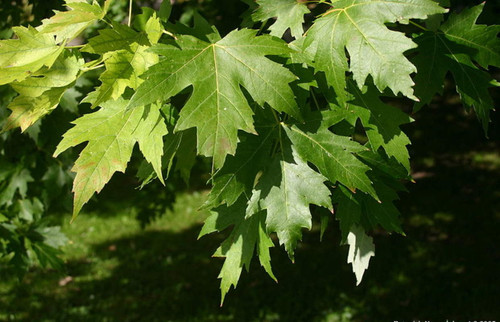 Acer saccharinum: Silver Maple Seeds