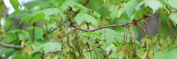 Acer spicatum: Mountain Maple Seeds