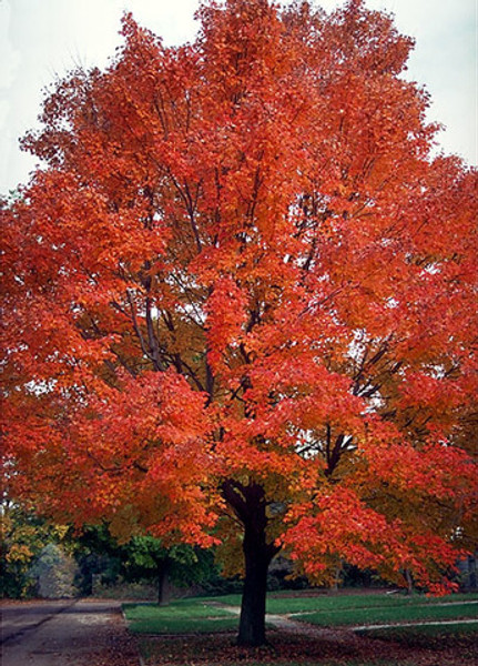 Acer rubrum: Red Maple Seeds